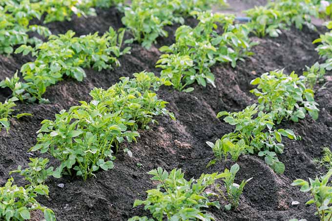 Rows of Hilled Potatoes | GardenersPath.com