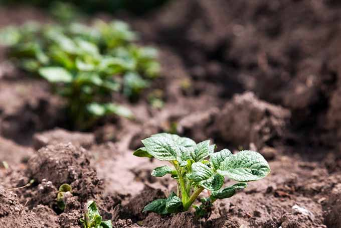 Small Potato Plants | GardenersPath.com