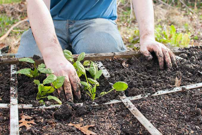A man's hands are being used to transplant seedlings into a square foot garden.