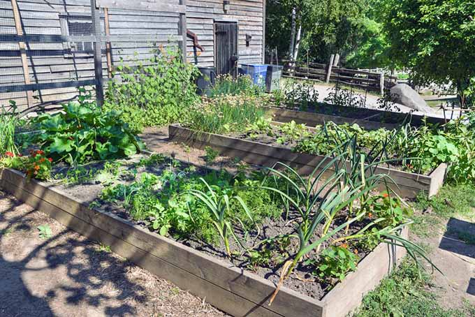 A backyard veggie garden consisting of raised beds using the square foot approach.