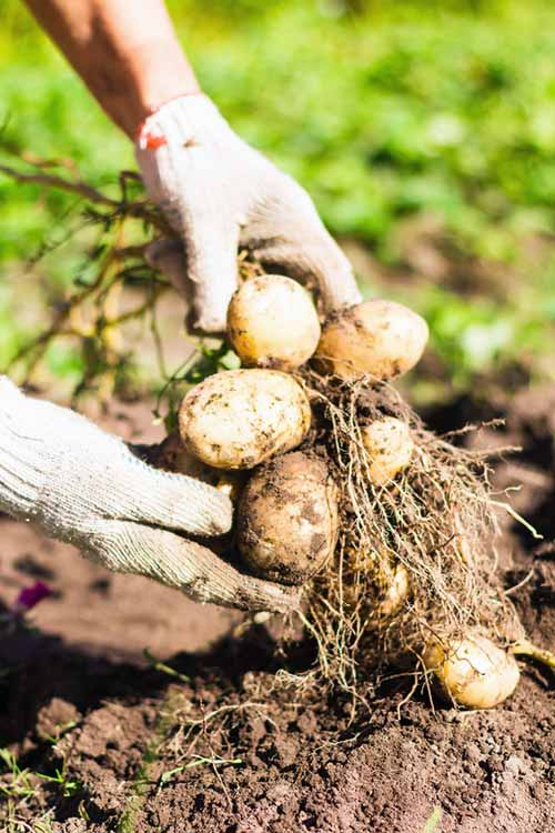 Potatoes from your garden are delicious, and are also easy to grow. harvest, and store. Gardener's Path will show you how to harvest your spuds the very best way with this simple guide: http://gardenerspath.com/plants/vegetables/harvest-homegrown-potatoes/