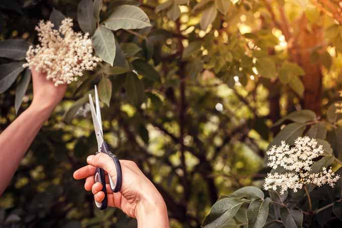 Elderflowers Floral Arrangement |GardenersPath.com