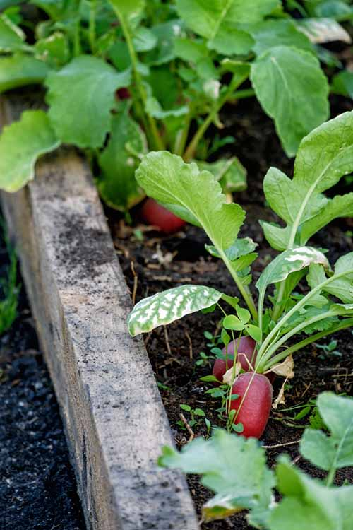 radishes growing in a square foot garden. Close up shot.