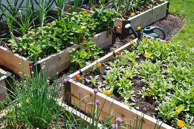 Marigolds, alliums, and other pest-preventative companion plants in rasied beds at the border of a garden.
