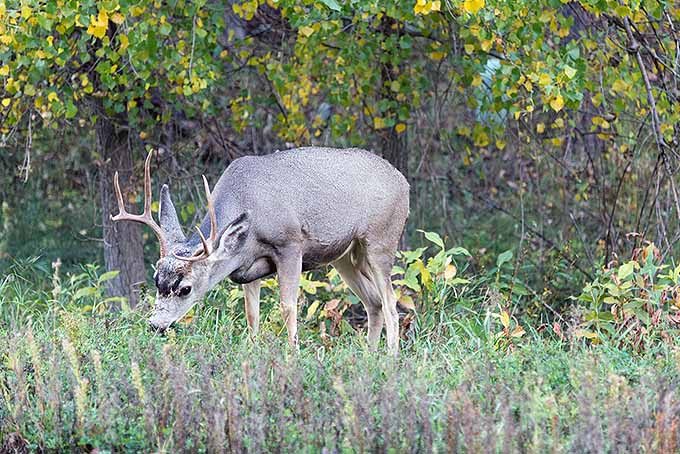 Deer as Garden Pests for Beets | GardenersPath.com