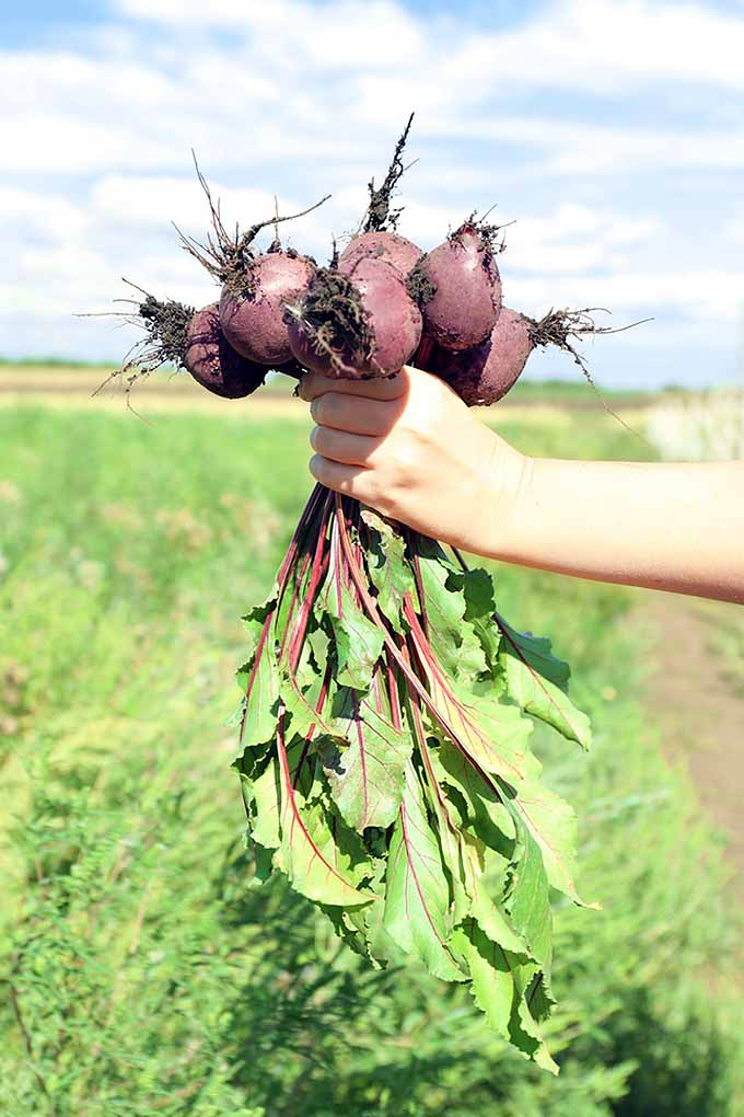 Mastering the art of growing beets isn't as hard as you'd think! From seed starting to watering, weeding, harvesting and even cooking, we've got all the tips you need right here to grow your very own and enjoy them in the most rewarding way possible: https://gardenerspath.com/plants/vegetables/how-to-grow-beets/
