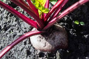 Planting Beets: A Crop for Cooler Seasons