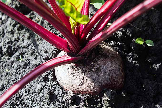 A close up horizontal image of a maturing beetroot pushing out of the top of the soil, pictured in bright sunshine.