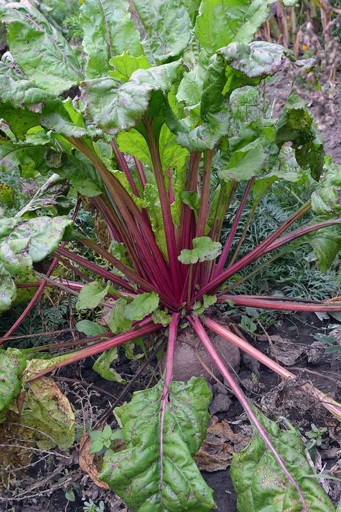 A close up vertical image of a beetroot growing in the garden, ready for harvest with the root pushing out of the ground and leafy green stalks.