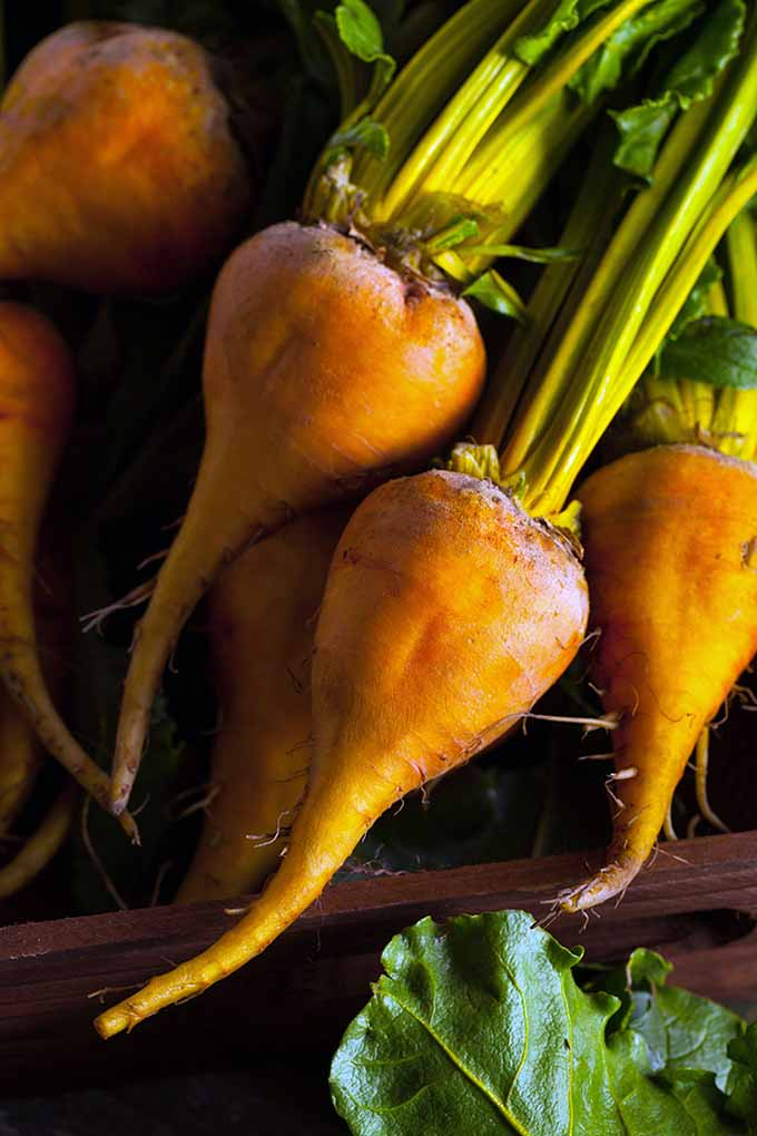 From gold, to pink, to red and even white, beets come in a startling rainbow of colors. They're also easy to grow! If you're planning your spring or fall garden, make sure to include these tasty root crops. Learn all you need to know to get started right here at Gardener's Path: https://gardenerspath.com/plants/vegetables/top-16-beet-varieties-to-plant-this-season