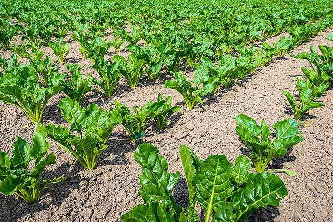 Planting Rows of Beets | GardenersPath.com