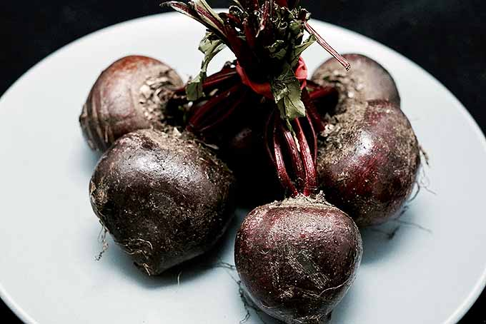 A close up horizontal image of beets with their tops chopped off, tied together and set on a white plate, on a black background.