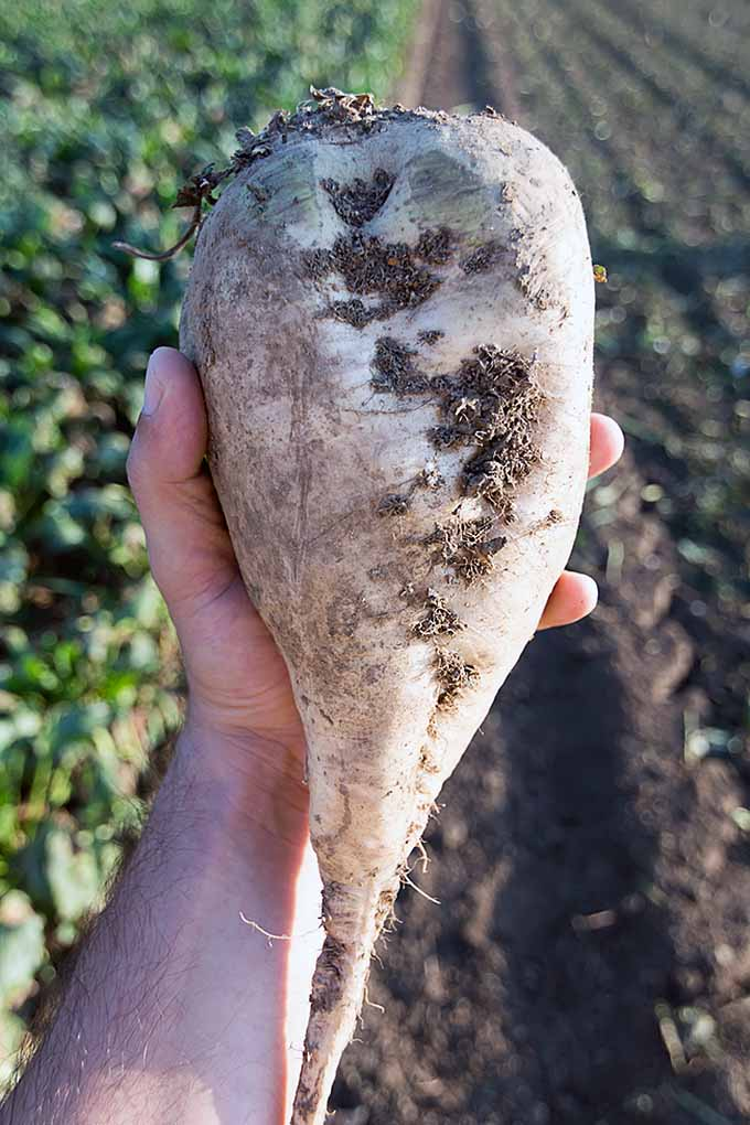 Ever wanted to grow your very own beets? From Red Ace to the infamous sugar beet, these root crops can be all yours and more, whether its spring, fall, or a cooler season in general. Check out our growing guide here at Gardener's Path: https://gardenerspath.com/plants/vegetables/how-to-grow-beets/