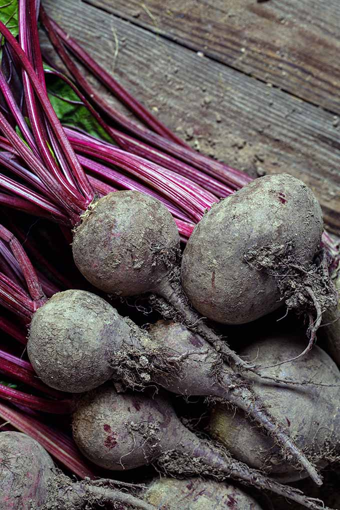 Planning your spring or fall garden? Then you just have to include beets! These colorful, vibrant roots are easy to grow and are healthy for you, too. Get your fingers dirty here: https://gardenerspath.com/plants/vegetables/how-to-grow-beets/