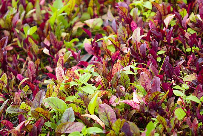 Young Homegrown Beet Plants | GardenersPath.com