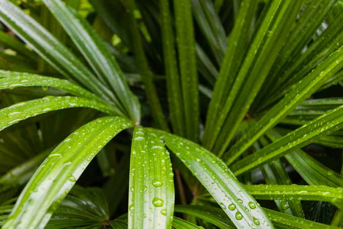 The best nontoxic houseplants to decorate your home, like the bamboo palm. | GardenersPath.com