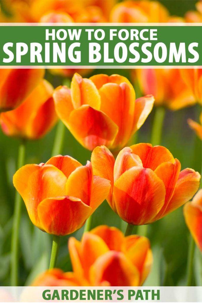 Orange tulips. Close up photo.