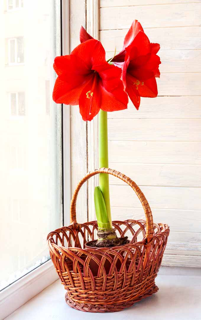 Is it possible to make Amaryllis bloom indoors? Learn how to force this flower to bloom now: https://gardenerspath.com/how-to/indoor-gardening/force-spring-blossoms/