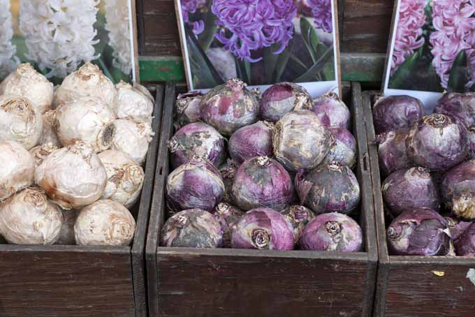 Force Spring Bulbs To Blossom | GardenersPath.com