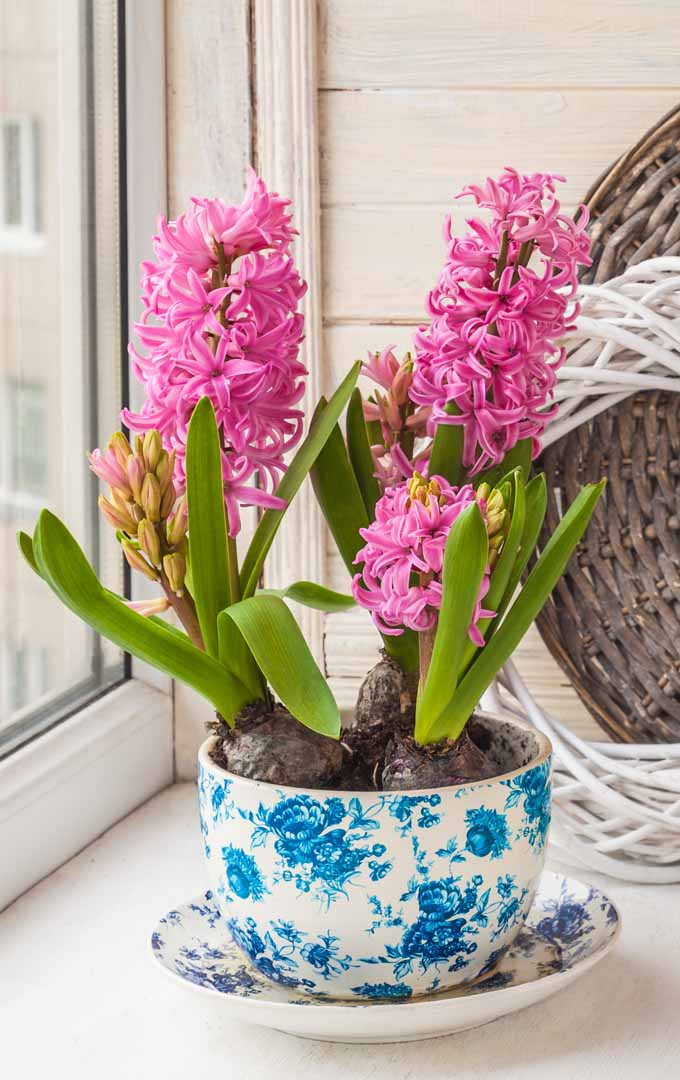 Is it possible to have flowering bulbs and branches in full bloom indoors even when it is still cold outside? Read more: https://gardenerspath.com/how-to/indoor-gardening/force-spring-blossoms/