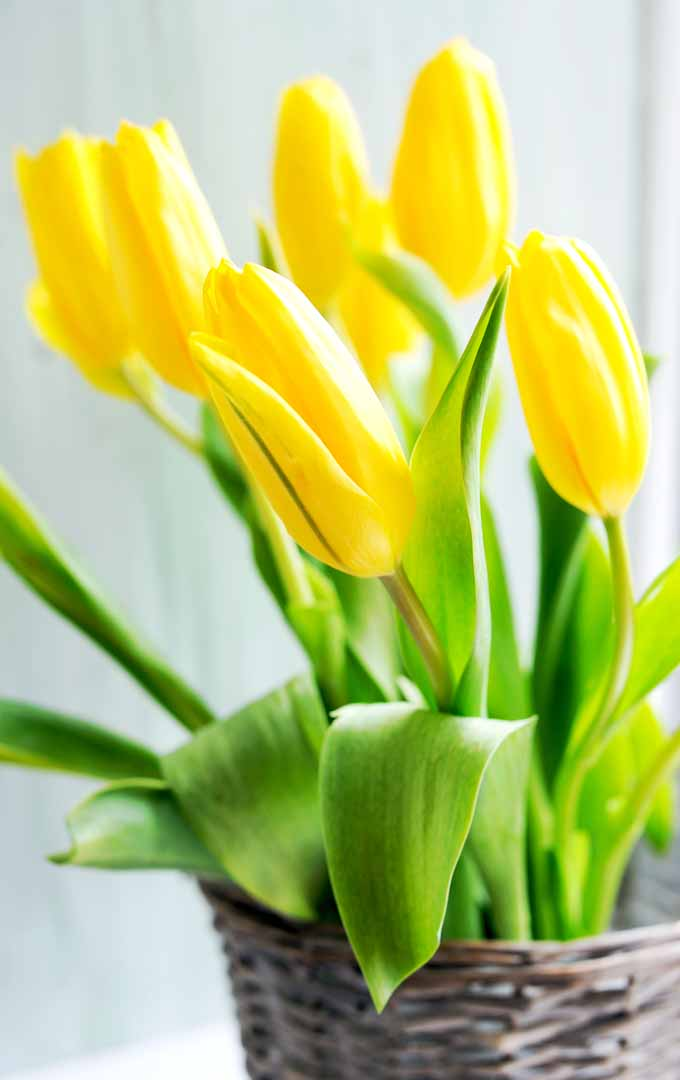Wouldn't it be lovely to have bulbs and branches blossoming inside your home even when it is cold outside? Learn how: https://gardenerspath.com/how-to/indoor-gardening/force-spring-blossoms/