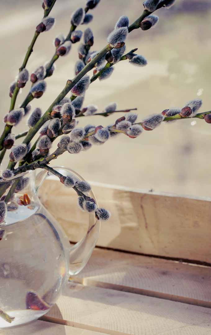 Do you want to enjoy an early spring, even when it is still cold outside, by forcing flowering branches and bulbs to blossom indoors? Read more now: https://gardenerspath.com/how-to/indoor-gardening/force-spring-blossoms/