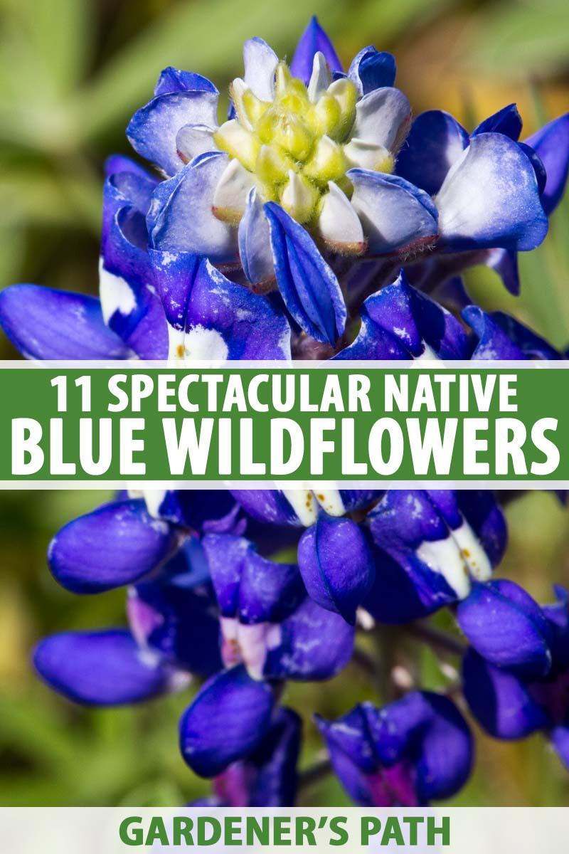 11 Native Blue Flowers For The Garden Gardener S Path