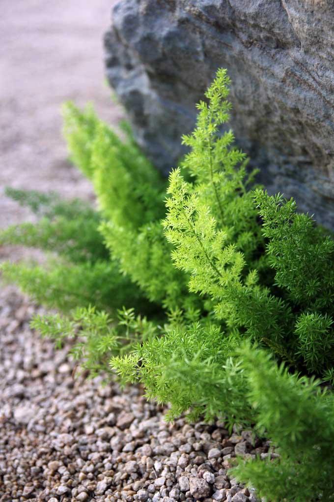 Asparagus densiflorus | Gardener's Path
