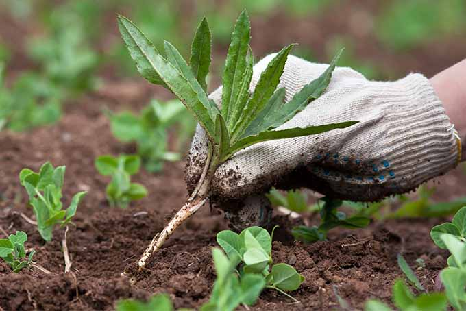 A white gloved hand pulls a large green weed from the vegetable garden, between rows of seedlings growing out of brown soil.