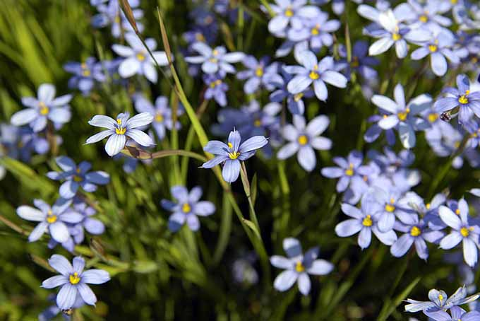 Blue flowers like this narrowleaf blue-eyed grass add a pop of color to the garden. | Gardenerspath.com