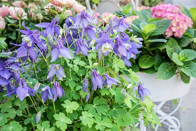 Blue columbine makes a gorgeous addition to your container garden. | Gardenerspath.com