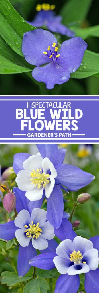 Is the garden looking tired? Wake it up with splashes of blue. Discover 11 native blue-flowering plants that will give your landscape an instant makeover. Plant among yellow bloomers for contrast that's nothing short of breathtaking. Find your new favorites in this informative article from Gardener's Path.
