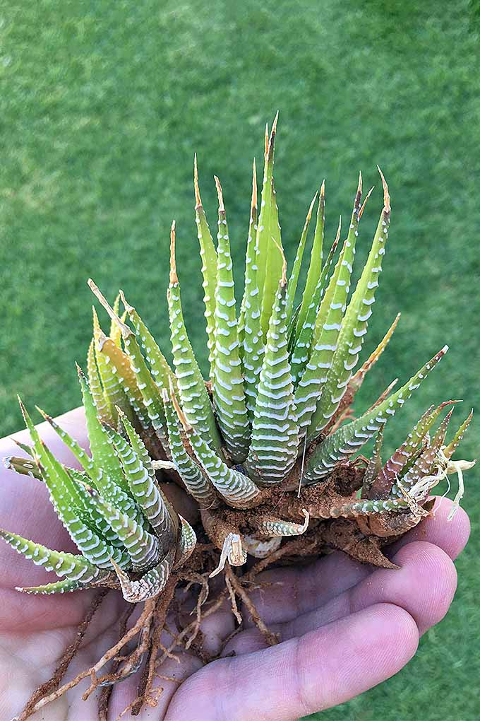 A zebra cactus or haworthia with exposed roots, ready for dividing and starting new plants. Learn how: https://gardenerspath.com/how-to/propagation/succulents-five-easy-steps/
