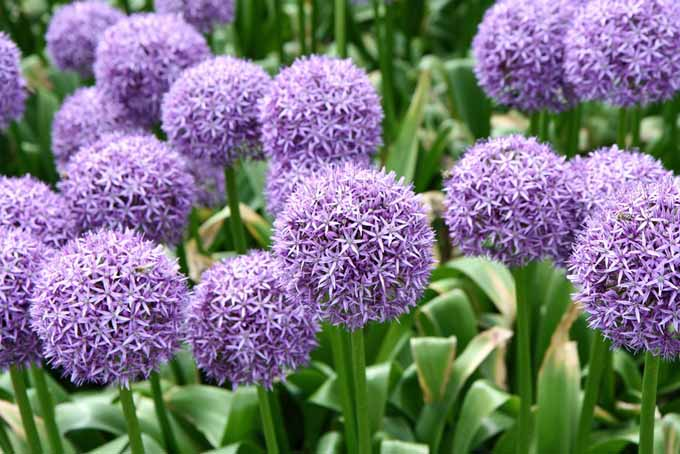 Giant Allium | Gardener's Path