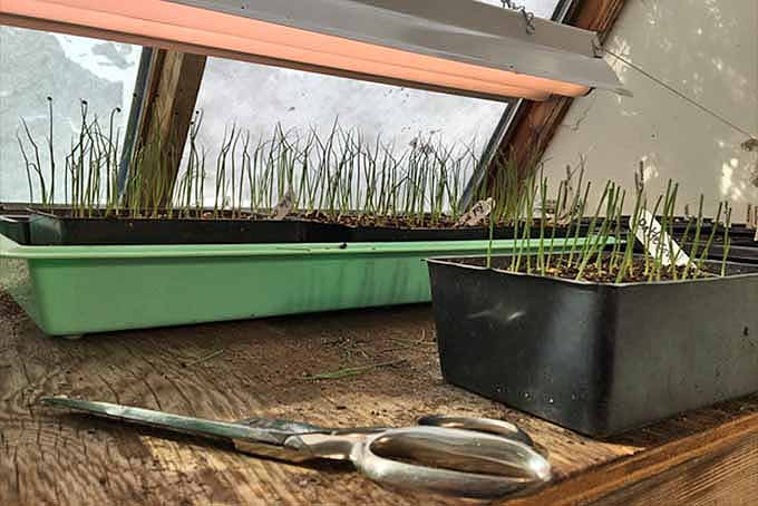 Easy Onion Cultivation | GardenersPath.com
