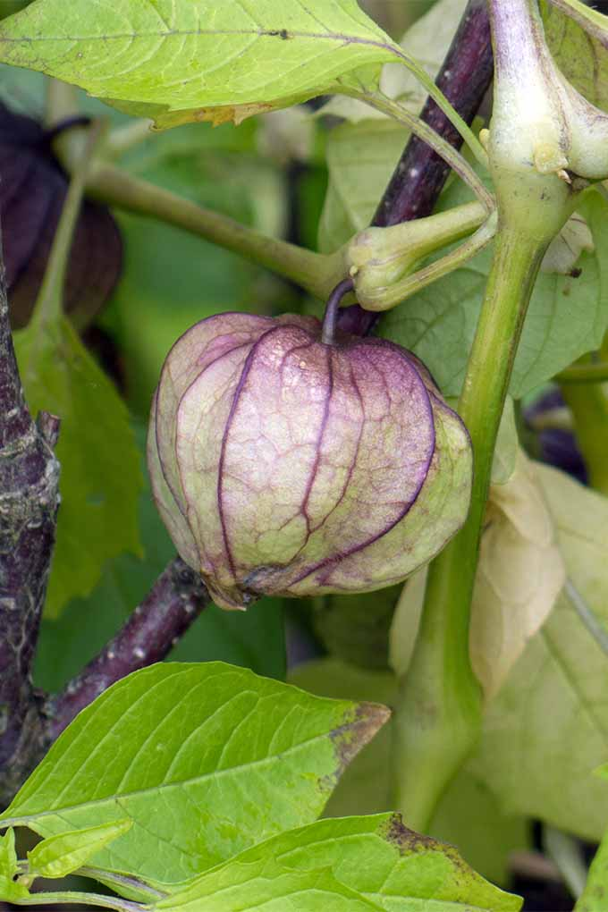 Grow fresh tomatillos in your garden with these tips: https://gardenerspath.com/plants/vegetables/tomatillos/
