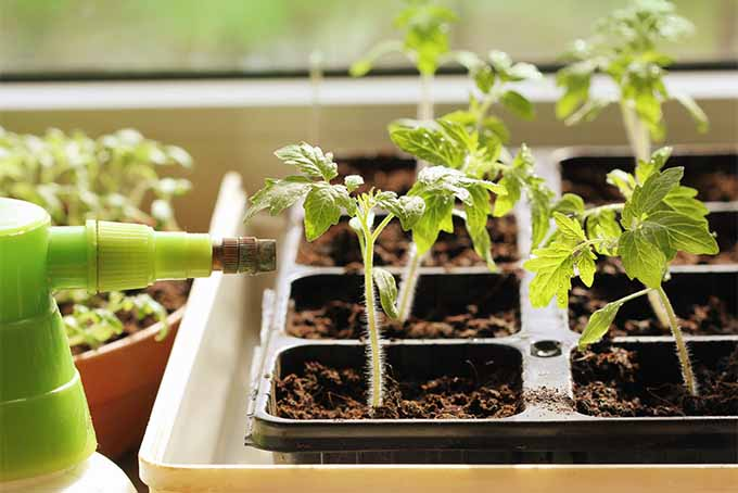 Tomato seedlings planted in a black plastic seed starting container in brown soil, set into a white plastic tray.