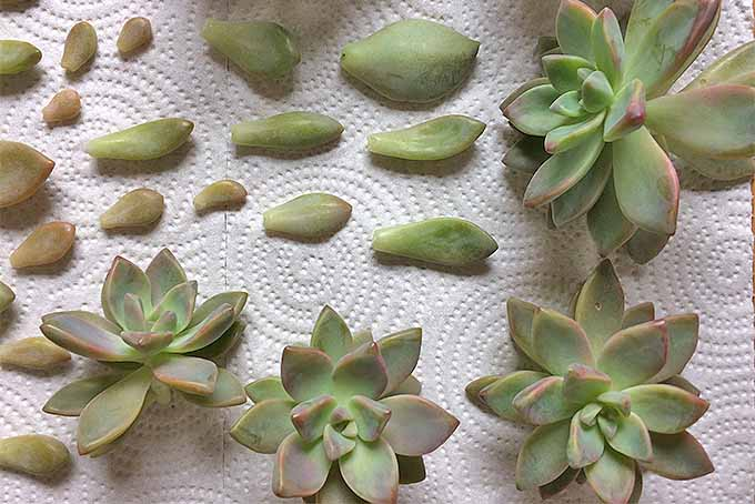 To propagate succulents, snip mature clusters from leggy stems and arrange leaves on a paper towel to callus off before planting. | Gardenerspath.com