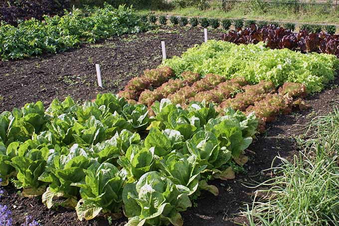 Lettuce planted in neat rows, early in the season. | Gardenerspath.com