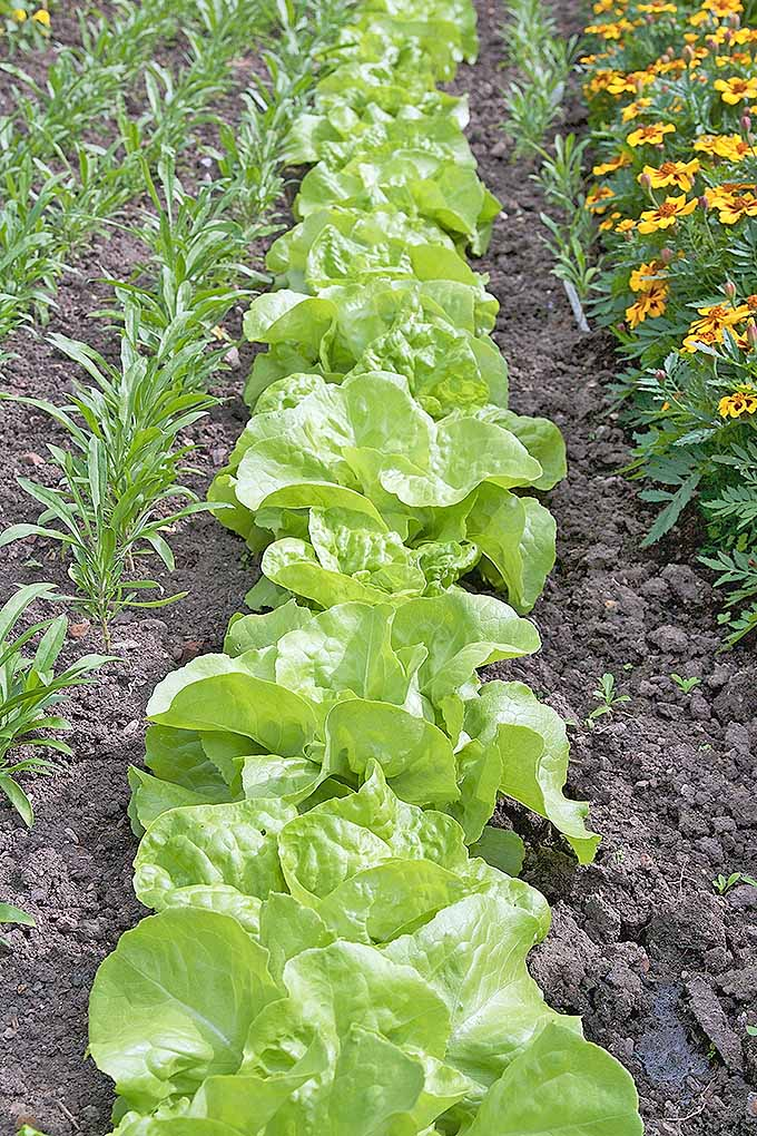 Plant lettuce early in the season, with marigolds as a pest deterrent. We share our best tips: https://gardenerspath.com/plants/vegetables/plant-salad-greens-early/