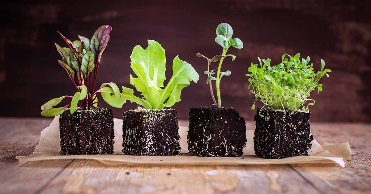 How To Grow Lettuce And Microgreens Gardener S Path