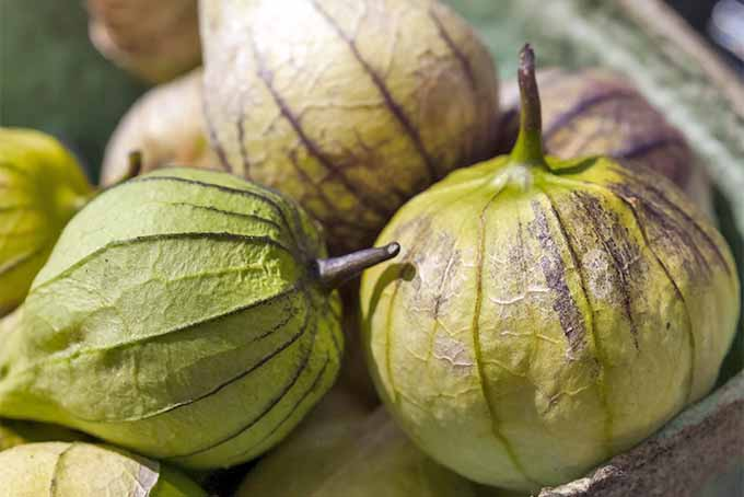Learn how to grow and harvest delicious tomatillos at home. | Gardenerspath.com