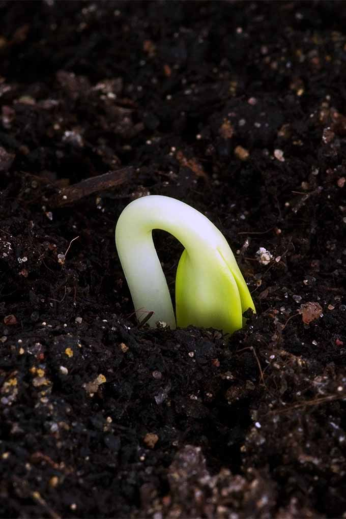 Planting annuals in the garden this year? Start seedlings indoors for success throughout the season! We'll teach you how: https://gardenerspath.com/plants/vegetables/start-annuals-indoors/