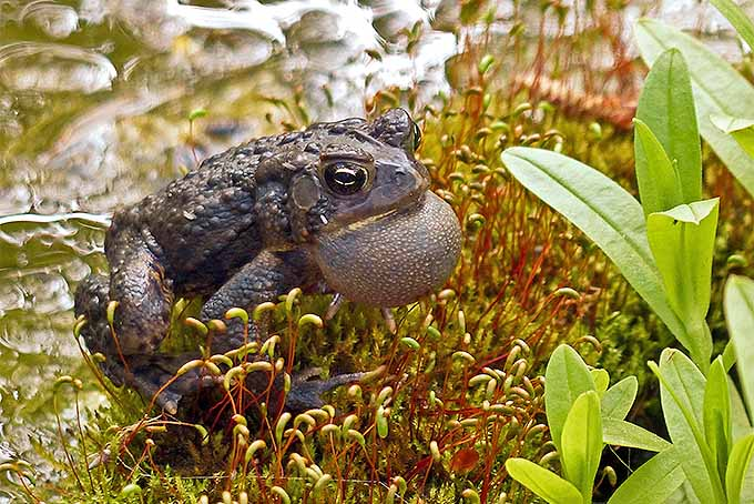 An American toad, happily croaking in a wildlife-friendly garden space. | Gardenerspath.com