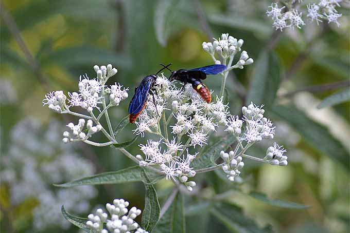 Bluewinged wasps, and other pollinators and native wildlife will thrive in your Humane Garden, with these tips from Nancy Lawson. | Gardenerspath.com