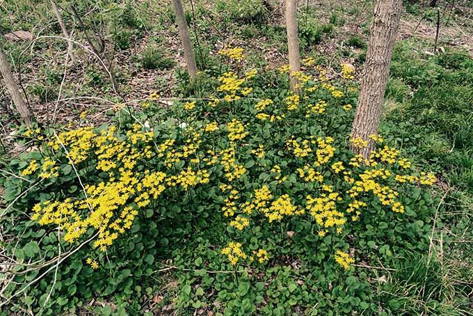 Golden ragwort | Gardenerspath.com