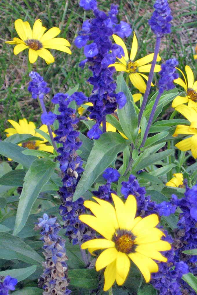 Plant flowers like blue salvia and yellow daisies together to create beautiful contrast in the garden. Plus 10 more beautiful blue flower varieties: https://gardenerspath.com/plants/flowers/native-blue/