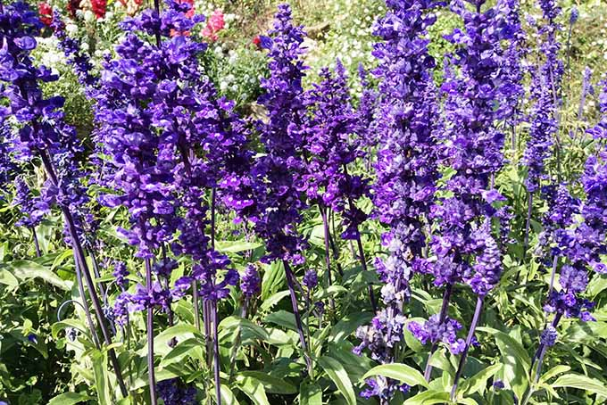 11 of our favorite blue blooms, like this mealy cup sage, a.k.a. blue salvia.   Gardenerspath.com