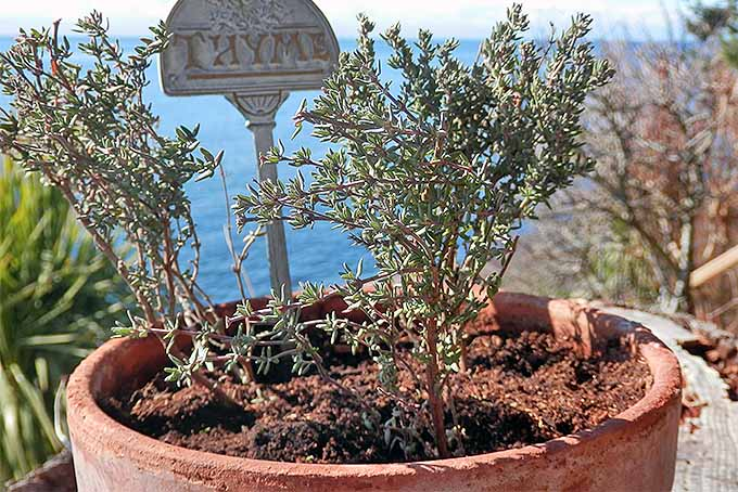 Thyme growing in a pot outdoors. | GardenersPath.com