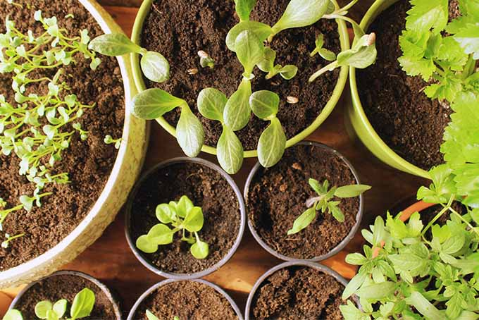 Start seedlings indoors to plant your first vegetable garden. | Gardenerspath.com